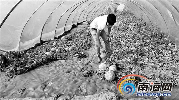 万宁百亩西瓜被淹投资人称是政府挖挡水土墙所致