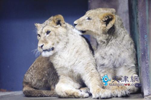 它们就是从济南跑马岭野生动物世界引进的一对小非洲狮和一对小白虎