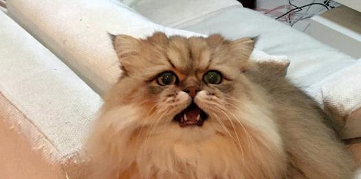 日本大阪市的猫Foochan(估计年龄为5岁,公猫)。   中新网5月11日电据日媒11日报道,来自日本大阪市的猫Foochan(估计年龄为5岁,公猫),有着柔软的毛,脸上经常带着仿佛在恳求什么一样可怜兮兮的表情,它的主人每次以它为主人公在社交网站上发布信息,都会获得平均超过500次的转发。   现在,Foochan和做网页设计师的主人牧野直树夫妇幸福地生活在一起。社交网站主要记录牧野夫妇以Foochan为主的生活点滴,关注人数已经超过7万人。   海外粉丝还给Foochan起了个