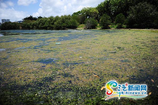 三亚白鹭公园疑现大面积绿藻部门回应:是青苔