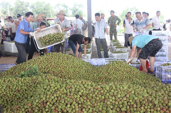 文昌东路荔枝直销北京每天2.5万公斤持续15天