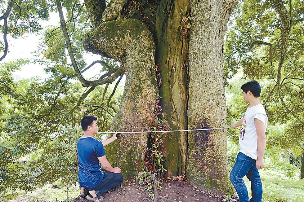 """重庆现8棵金丝楠木 老板欲用22套房""""买""""树遭拒"""