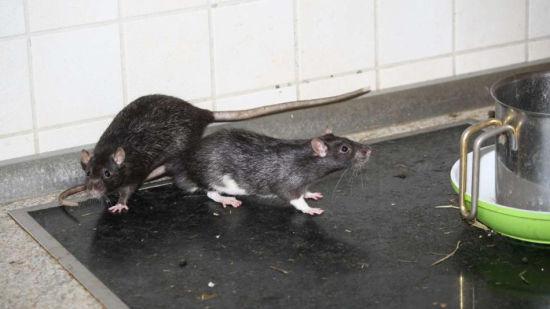 动物保护组织的工作人员进入屋子后,发现宠物鼠已多达300只.