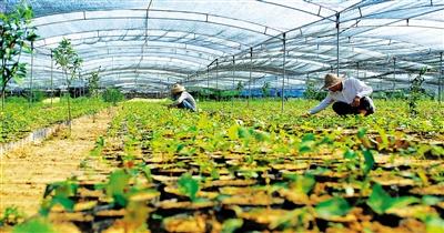 红花油茶树图片_种油茶树的收入