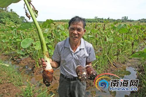 临高60万斤芋头滞销愁坏农民收购价低于1元/斤