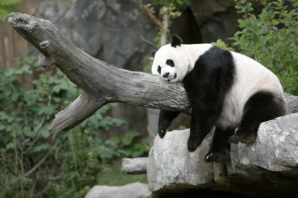 美国华盛顿动物园大熊猫美香最快下周生产(图)