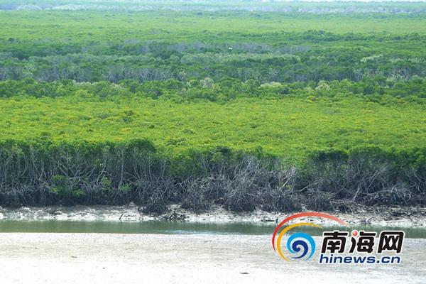海南东寨港红树林一年四季郁郁葱葱 (南海网记者陈望 摄)