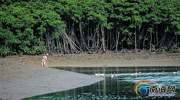 东寨港红树林保护区放养的咸水鸭. 海南日报记者 李幸璜 摄