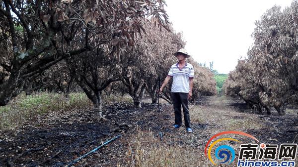 """海口承包商拒绝别人""""帮""""看果园400多株荔枝树被烧"""
