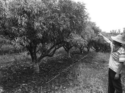 海口果农400棵荔枝树被火烧或因不交保护费遭报复