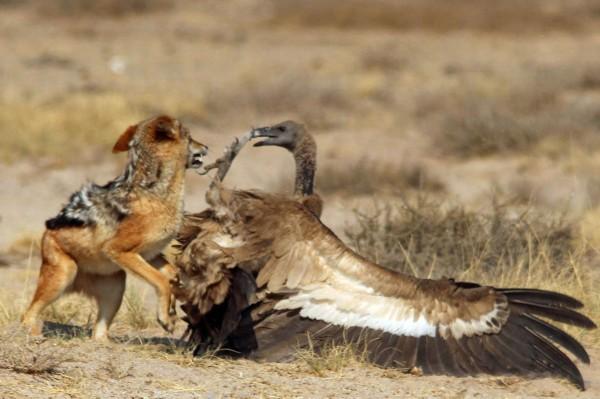 非洲草原豺狼偷袭秃鹰 上演殊死搏斗