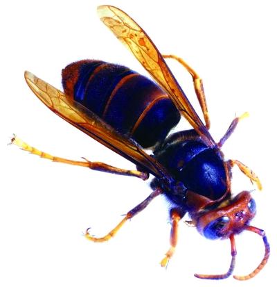 海口三门坡镇村民称马蜂蜇人致一死两伤被马蜂蛰了该怎么办?