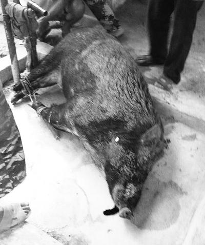 万宁一野山猪接连咬人致1死1伤警民持棍棒将其打死
