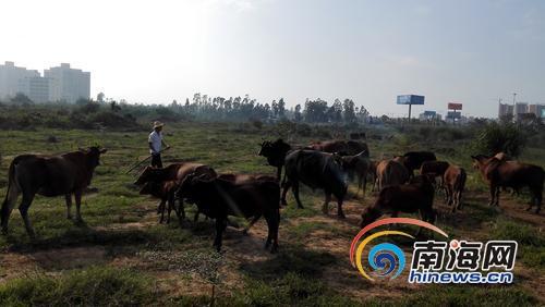 养牛基地被拆100头牛散落澄迈大学生回乡创业遇挫