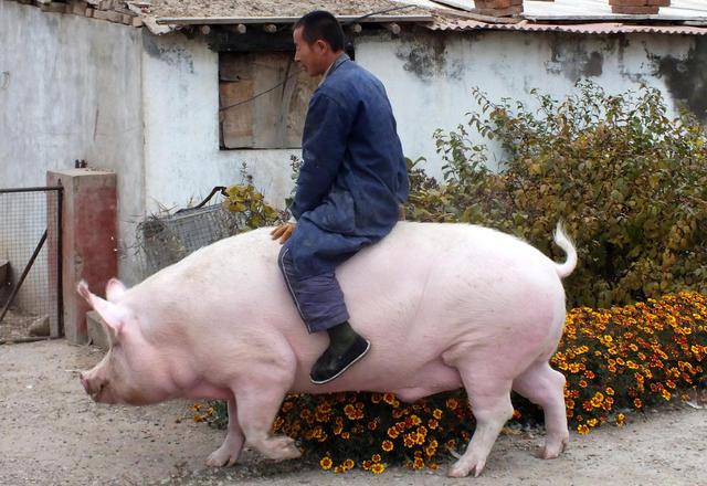 """张家口一母猪体重达半吨多 获""""免死令""""图片"""