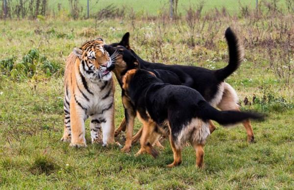 斯洛伐克保护区牧羊犬与老虎一家亲