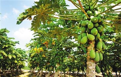 儋州的木瓜成熟了!走进海南最大的番木瓜种植基地