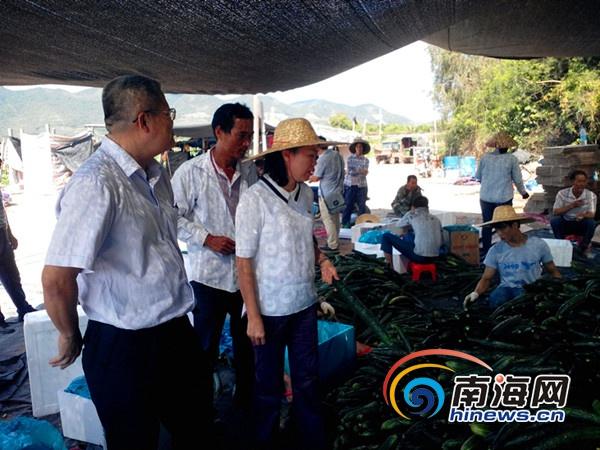 <b>南繁改良冬季瓜菜新品种三亚菜农增产增收20%</b>