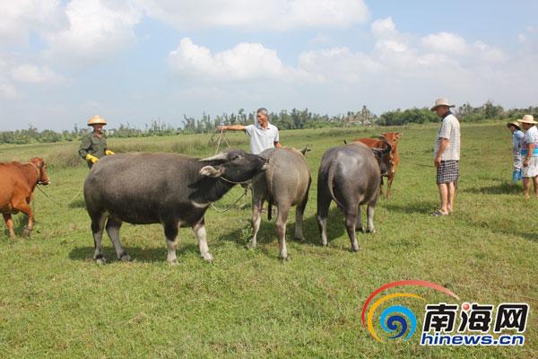 文昌罗豆农场上百头牛患病村民质疑畜牧站未打疫苗