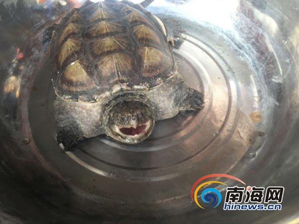 海口市民捡3斤重蛇鳄龟林业部门:不能放生可自行养殖