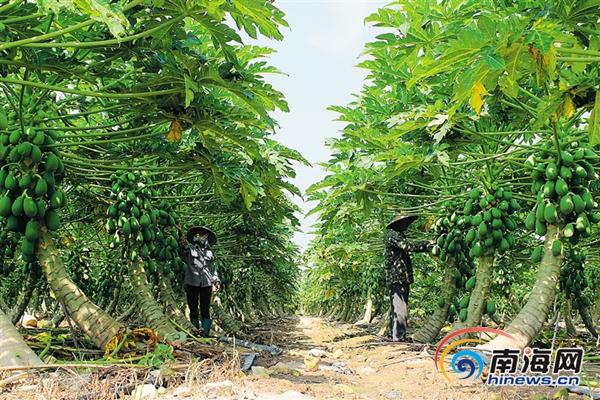 <b>因地制宜长短结合儋州现代农业向高远目标挺进</b>