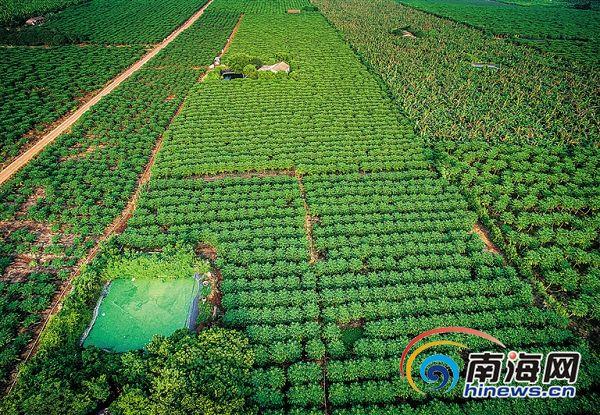 临高调整农业产业结构