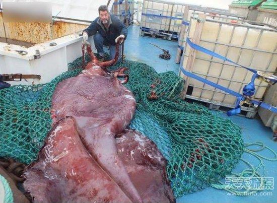 尸体解泡�_该大学对这只巨型乌贼做了尸体解剖,发现这只乌贼体内竟有3颗心脏.