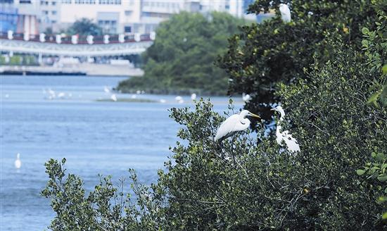 12月29日上午,三亚河畔,白鹭有的成群结队在河中觅食,有的飞上红树林枝头栖息,呈现出优美的生态画卷。今年以来,随着三亚河水质的不断改善,越来越多的白鹭聚集到这里,三亚河和红树林成为白鹭生活的乐园。本报记者 袁永东 摄 两张中心城区的遥感观测照片,深撼人心。 一张拍摄于1988年,在蔚蓝岸线的映衬下,三亚以山脉为屏障,似五根手指向海洋延伸,指间水系丰盈,河流阡陌纵横; 另一张拍摄于2015年,同是三亚,如血管脉动的河流变得狭小,部分湿地消失,山海相连的吟唱,似已是古老的歌谣。 近30年过去,快速生长的城