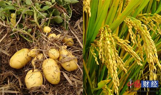 农业部:调整优化种植结构 推进马铃薯产业开发