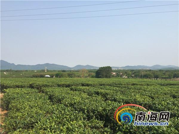 三月三白沙农户采茶忙每天采茶16公斤