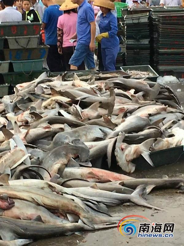 濒危鲨三亚码头宰杀售卖据称到国外观看需数万元
