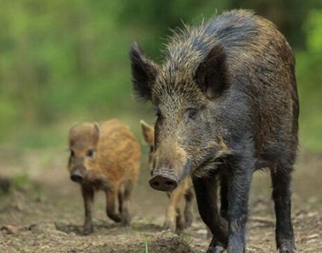 野猪遭核污染变异凶猛异常 福岛成无人区野生动物群聚