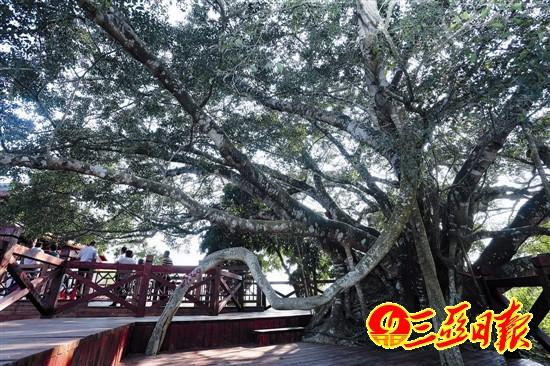 """吉阳区中廖村""""春天里""""咖啡馆旁高处,巨石生长着一棵罕见的大榕树,榕树"""