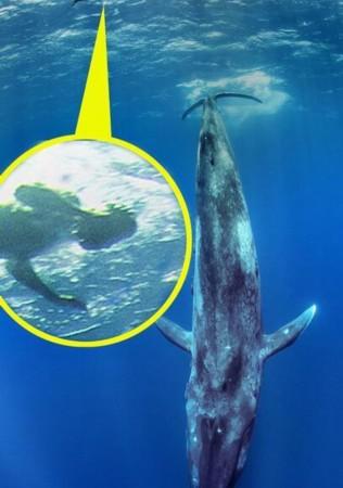 蓝鲸是世界上最大哺乳动物