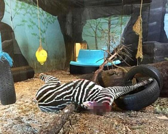 我们用整只其他的动物来喂食老虎能够磨砺它们的爪子和牙齿,激发他们