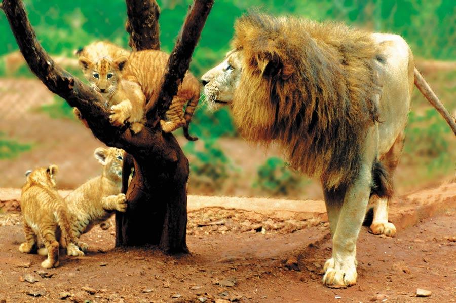 资料图:海南热带野生动植物园的狮虎兽.