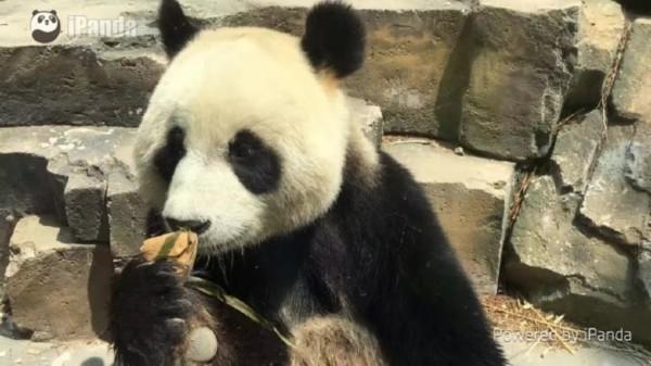 """今年端午节,大连森林动物园的滚滚们吃上了特制的""""熊猫粽"""",""""熊猫粽"""""""