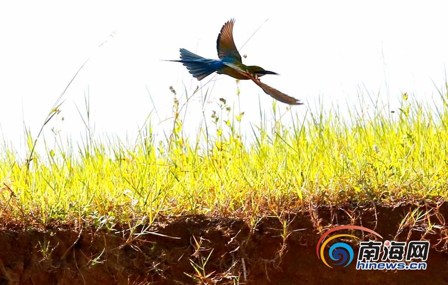 非法采砂盗砂破坏小鸟生存环境海口爱鸟人士呼吁保护环境