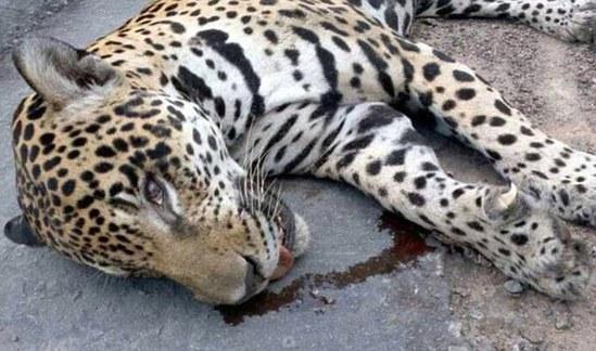 美洲豹被射杀   巴西军方官员路易斯-古斯塔沃-埃韦林公开解释说,17岁的祖玛自幼在这家动物园饲养,不能算野生动物。祖玛之死令人非常难过。动物和环境专家说,猛兽毕竟是猛兽,不能认为美洲豹经过饲养就会乖乖听话,你永远无法预知它在这种情况下会有什么反应。   有动物保护组织谴责里约奥组委,质问为什么要用铁链拴上一头动物来参加活动。国际野生动物保护协会一位官员称:野生动物被关押,被迫做一些事情,是非常可怕的,它们非常痛苦,与此同时它们也会是一颗定时炸弹。美洲豹也好,还是大猩猩,或者其他被人类利用的野生