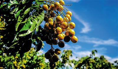 儋州黄皮品牌打响带动农村旅游业发展