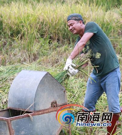 <b>琼中鸭坡村举办割稻捞鱼比赛游客体验稻鱼共生农趣</b>