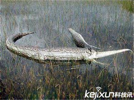 世界上最大蛇 亚马逊森蚺大战凯门鳄震惊世界!