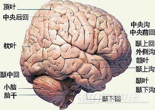 大脑结构图