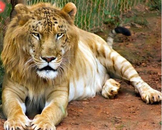 你是不是虎_动物世界也有混血儿,你见过吗?