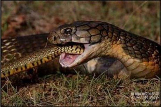 这几种动物竟喜欢吃蛇 蛇见了都要绕着走
