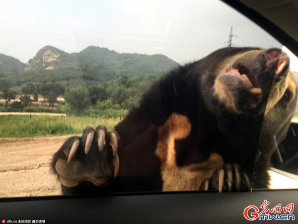 2016年7月22日,7月23日下午,在北京延庆八达岭野生动物园内,两名自驾游女游客在猛兽区下车后,被老虎袭击,造成1死1伤。记者搜索发现,据媒体报道,野生动物园老虎咬死人事件并不鲜见,图为22日,事发前夕记者探访八达岭野生动物园。图为遭遇熊出没,虽然在撤离,但熊抓扒上车窗的瞬间还是让记者下出了一身冷汗。