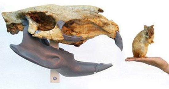 最大的老鼠:公牛一般大小   这种巨型啮齿动物学名Josephoartigasia monesi,它与人们熟悉的老鼠完全不同,从进化角度来看可能与豪猪等更为接近。   3、马达加斯加岛发现魔鬼蛙