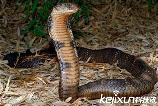 世界上最毒的蛇 眼镜王蛇深藏海底杀人无数!