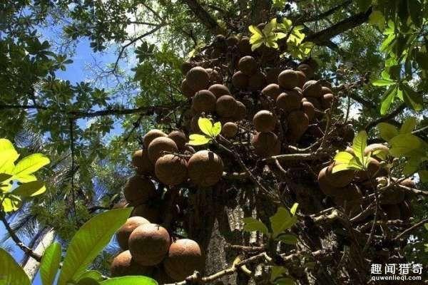 小镇树就上吊着一些铁西瓜,成熟后会爆裂且威力不小