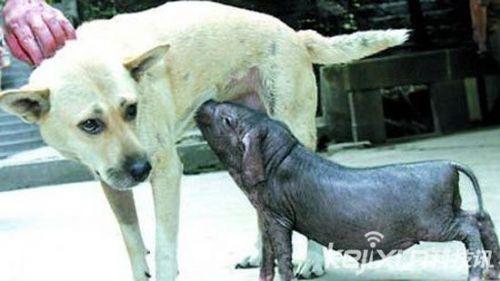 十大动物感动瞬间 母猪为情敢向屠夫拼命